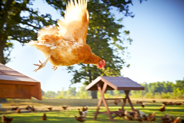 The Happy Egg Co.'s happy chicken