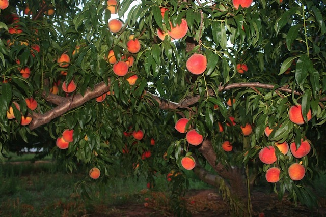 peaches in tree3