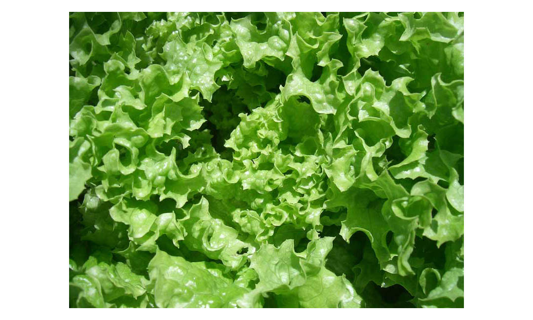 Leafy greens listeria