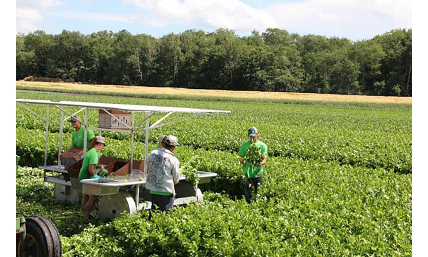 Trembling Prairie Farms' Wisconsin celery harvest