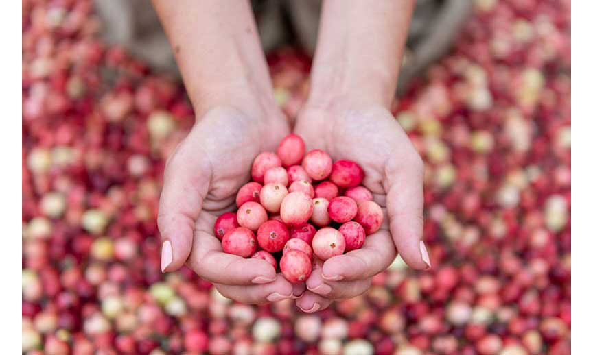 Ocean Spray pink cranberries in a woman's hands