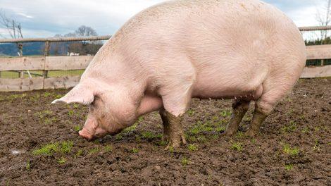 Pork Expo canceled in 2019