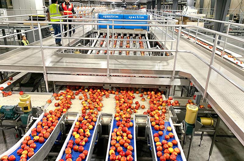 Allan Bros. Rainier Fruit packing line