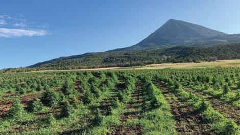 CBD panacea hemp farm