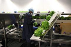 Kalera Tour Offers Insight IntoIndoor Vertical Lettuce Farming